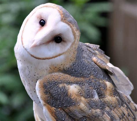 Kaos Birds Of Prey 291 best owls barn owls images by sofie vandersmissen on