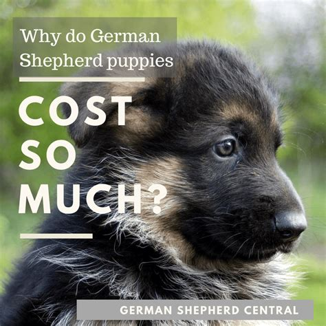 german shepherd puppies cost how much does a german shepherd puppy cost