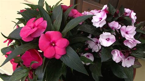 impatiens nuova guinea vaso carolina lisetta impatiens impatiens piante annuali