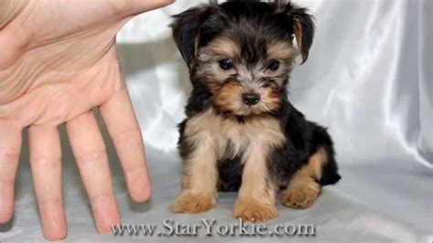 puppies for sale los angeles teacup puppies for sale in los angeles by staryorkie