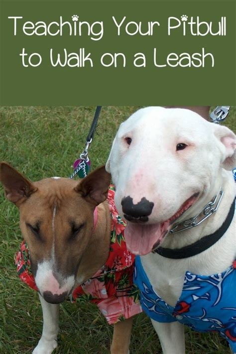 pitbull puppy tips pitbull puppy tips leash walking made easy