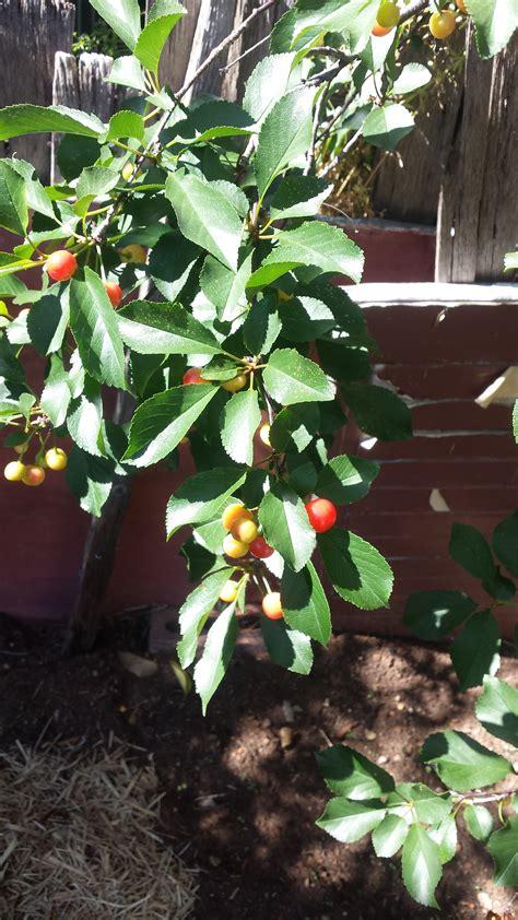 how to identify fruit trees forum help identify fruit tree
