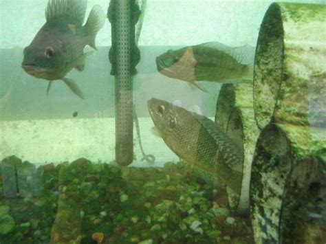 how to raise tilapia in the backyard pinterest the world s catalog of ideas
