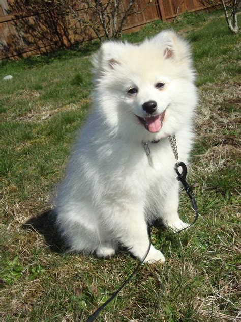 pomeranian and eskimo mix pomimo american eskimo pomeranian mix info and pictures