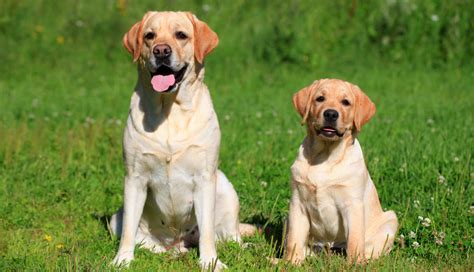 golden retriever obedience how to your lab to sit the labrador site