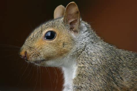 up squirrel file squirrel closeup profile gk jpg