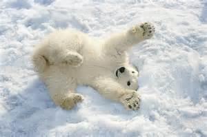 Cute Duvet Polar Bear Cub Playing In Snow Alaska Photograph By Mark