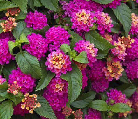 Tanaman Bunga Lantana Merah koleksi tanaman hias pokok bunga tahi ayam lantana camara