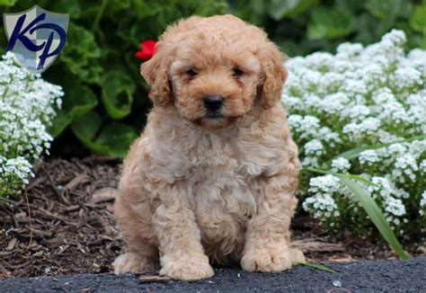 mini labradoodle puppies for sale pin by keystone puppies on mini labradoodle puppies