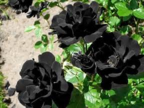 imagenes de rosas unicas las rosas de halfeti las 250 nicas rosas negras que existen
