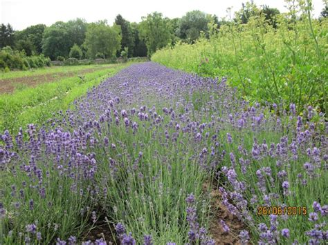Lavendel Bestellen 499 by Biosaatgut Lavendel 246 Ko Samen Lavandula Officinal