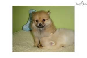 pomeranian puppies new york pomeranian puppy for sale near new york city new york 7c6bdffb d051