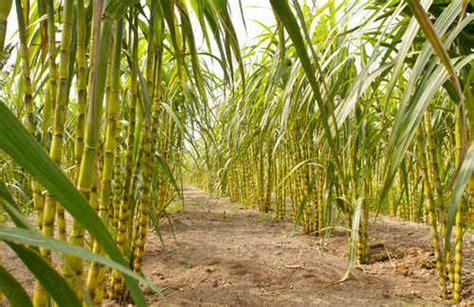 pengertian tumbuhan monokotil  dikotil beserta