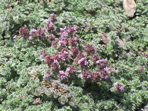 Olive Garden Gahanna by Wooly Thyme Thymus Pseudolanuginosis In Columbus Dublin