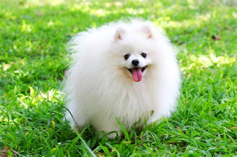 pomeranian wallpaper pomeranian wallpaper 12 cool hd wallpaper dogbreedswallpapers