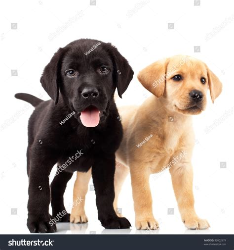 two cute labrador puppies one with mouth open and one