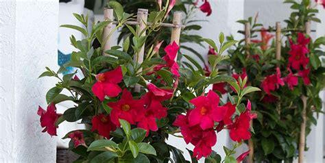 mandevilla care  winter costa farms
