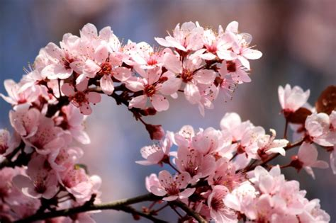 fiori di pruno foto gratis rosa fiori di pruno fiori primavera rami