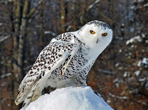 snowy owl snowy owls breed in the arctic tundra there