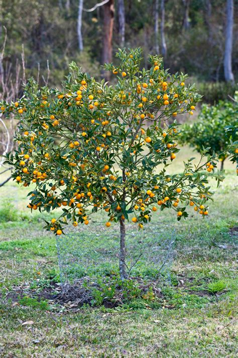 backyard lemon tree best backyard citrus care burke s backyard