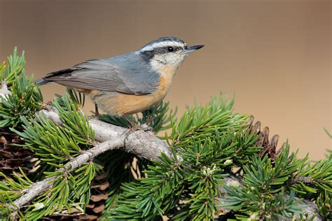 red breasted nuthatch 9