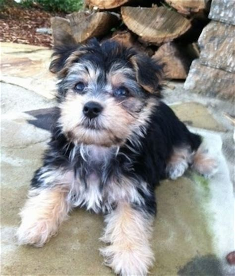 maltese yorkie grown black and white morkie grown www pixshark images galleries with a bite
