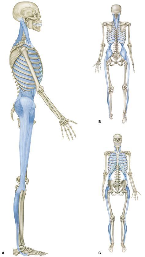 cadenas musculares thomas myers pdf peak personal training welt der faszien