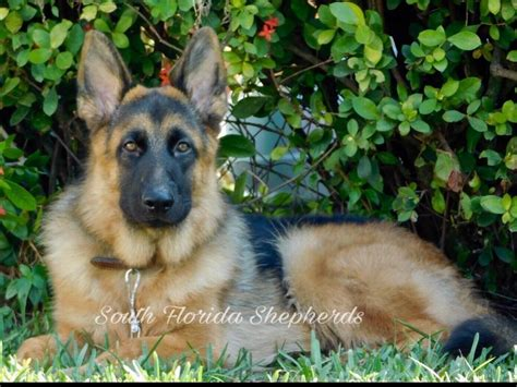 german shepherd puppies adoption florida south florida shepherds german shepherd puppies for sale