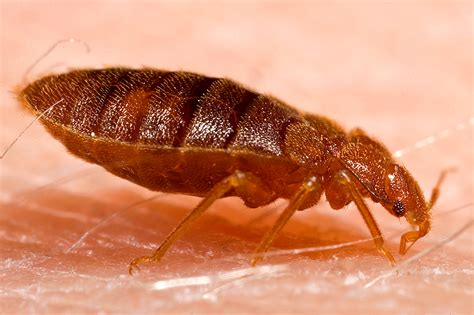 Image Bed Bug by Beyond Pesticides Daily News 187 Archive Bed Bugs