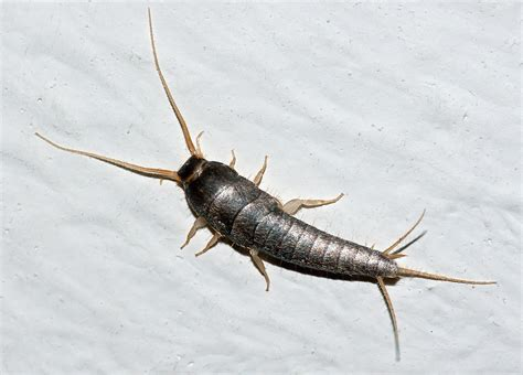 what are the silver bugs in my bathroom silverfish wikipedia