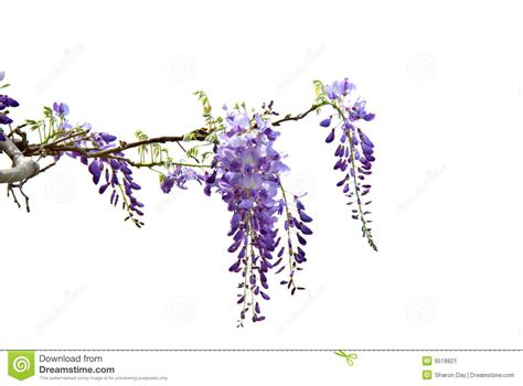 Hanging Artwork by Wisteria Stock Image Image Of Horticultural Blooming