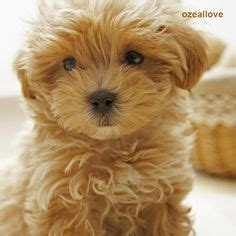 wayfarer havanese poodle teddy cut omg sooo puppy toys