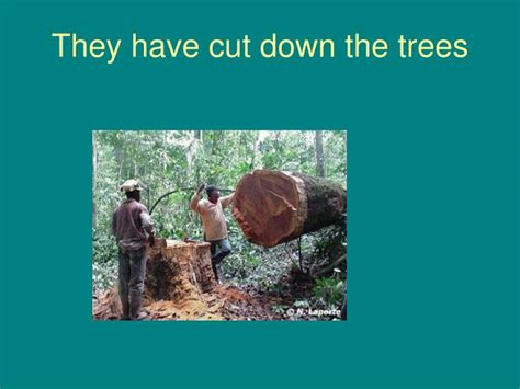 when do they take the tree down in nyc ppt they cut the pines powerpoint presentation id 411470