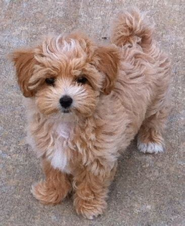 shih tzu and poodle best 10 poodle mix ideas on poodle mix puppies breeds and