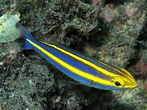 banana fish 1000 images about marine on seaweed