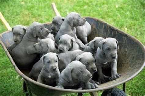 feeding a great dane puppy great dane puppies pictures pets world