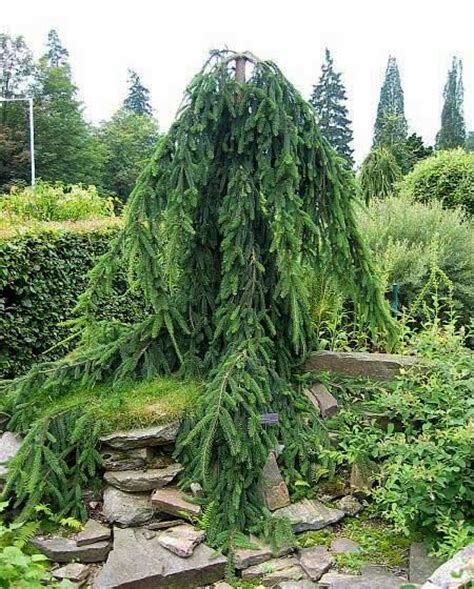 weeping pine pinus strobus pendula planting pinterest