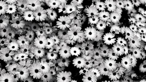 black and white daisy wallpaper black white flowers grey daisies hd wallpaper full hd