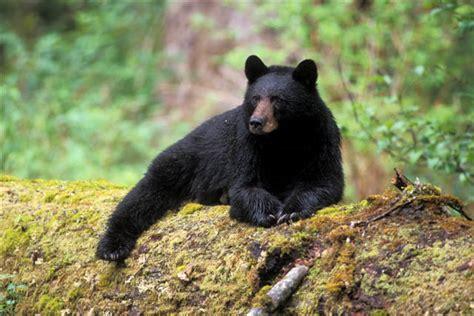 black bear black bear 7 desktop wallpaper hdblackwallpaper com
