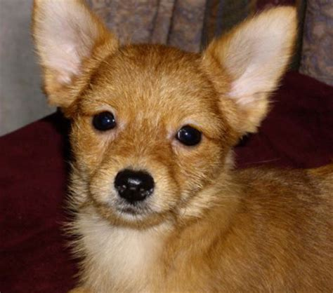 chihuahua yorkie mix puppies haired chihuahua and yorkie mix photos breeds picture