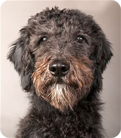 mini doodle chicago adopted chicago il goldendoodle mix