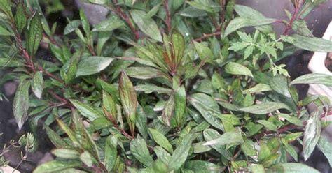 tanaman berkhasiat obat tanaman berkhasiat obat daun prasman