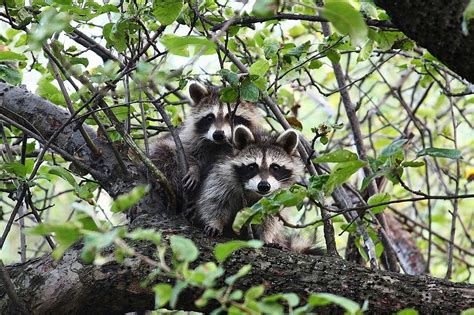 how to a coon to tree a raccoon bobby coon raccoon facts activities books photos and 187 burgess book lessons