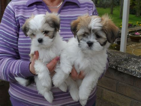 lhasa apso puppies lhasa apso puppies kennel club and dogs breeds
