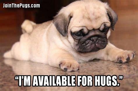 pug hug join the pugs gt pug hugs all around
