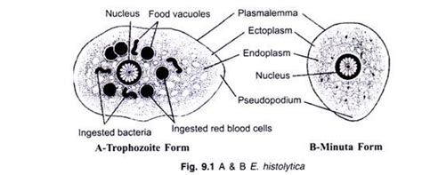 labelled diagram of entamoeba histolytica the structure and cycle of entamoeba with diagram