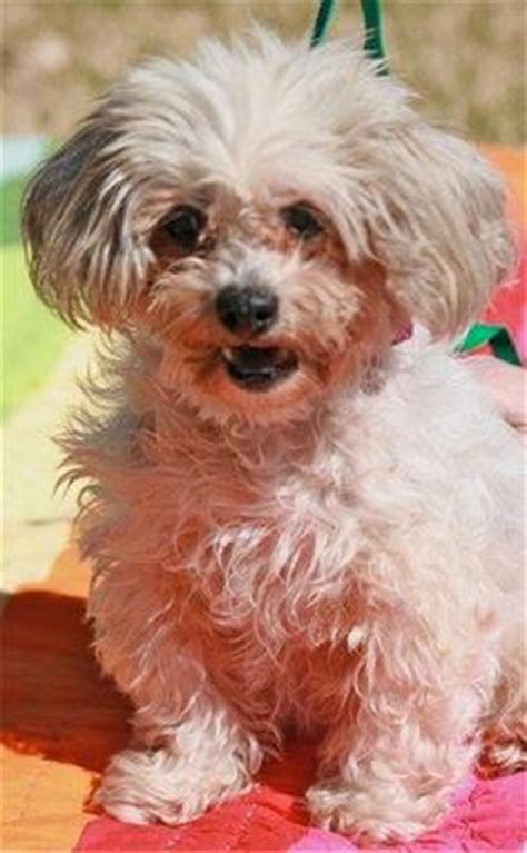 havanese rescue bay area 1000 images about shih tzu mix on lhasa lhasa apso and havanese dogs