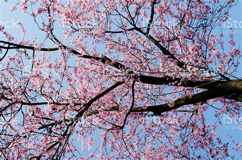 immagini fiori di ciliegio giapponese albero di fiori di ciliegio giapponese fotografie stock