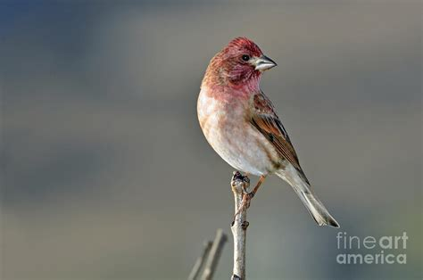 house finch in winter sun photograph by laura mountainspring
