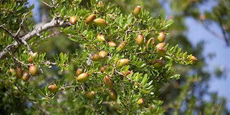When Should I Plant Fruit Trees - culinary argan oil 100 organic extra virgin cold pressed